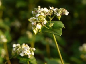 japanese_buckwheat_flower