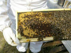 honey-bee-643877_960_720